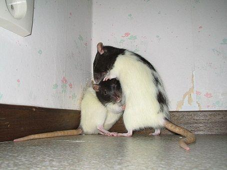 Conditions de vie naturelle chez le Rat