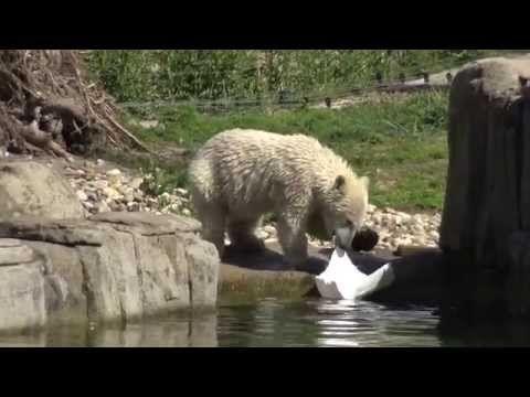 IJsbeer Blijdorp aan het spelen . - YouTube