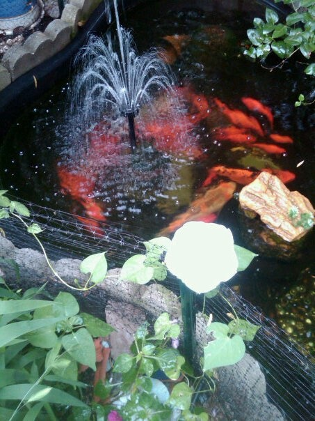 17 best images about koi on pinterest gardens around for 1500 gallon koi pond