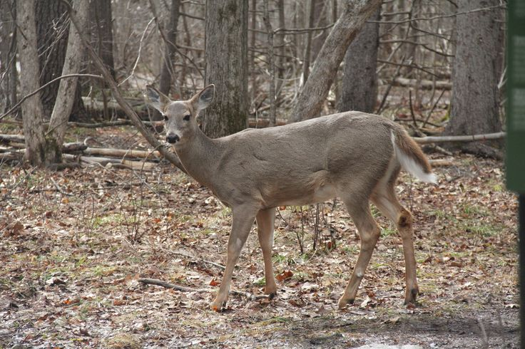 Deer in Stony Swamp Conservation Area
