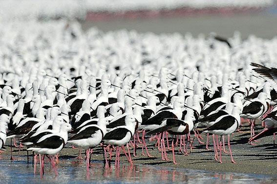 The third year of water has led to a riot of birds on Lake Eyre, from ducks to stilts, teals, cormorants, pelicans and swans, as well as unwelcome predatory gulls.