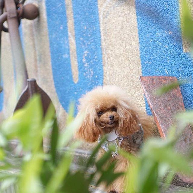 * * 日曜日のお出かけpic最後は 横浜に行ったらやっぱりここで撮るよね( *ˊᵕˋ) * 今日は沢山postしてごめんなさい💦 お付き合いありがとうございました🙇♀️ * * 明日はお天気になるといいなぁ☺️ * * #親バカ万歳キャンペーン #プードル#トイプードル#ふわもこ部#犬バカ部#わんこ#愛犬#トイプードルレッド#ワンコなしでは生きていけません会#dogstagram#dog#poodle#toypoodle#instadog#poodlelove#todayswanko#doglove#bestphotogram_dogs#doglife#dogoftheday#ig_dogphoto#dog_features#dogloversofinstagram#east_dog_japan#lovemydog#dogsofinstagram#instapet#excellent_dogs#doglovers#poodlelovers#dogloversofinstagram