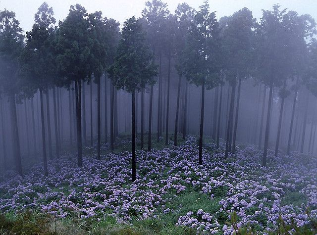 misty hydrangea: Fairies, Nature, Purple, Misty Forests, Beauty Place, Trees, Flower Fields, Woods, Misty Hydrangeas