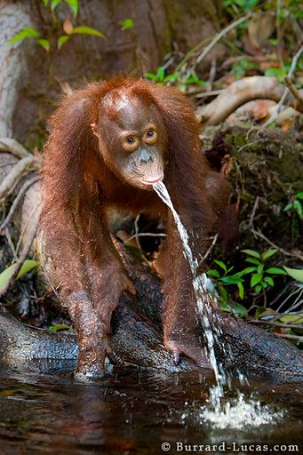 10 things you didn't know about orangutans | FUTUREJAM