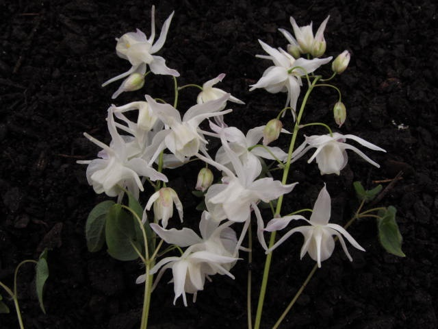 Epimedium Yenomoto With Brightest White Flowers House Plantswhite