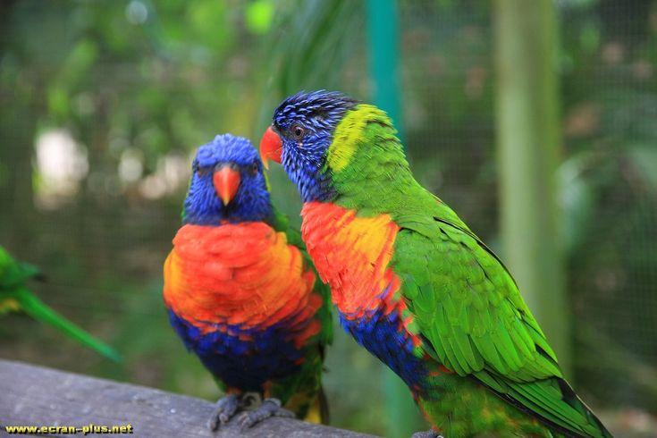 Perroquets dans le jardin botanique de Deshaies (Villa Coluche) - Guadeloupe