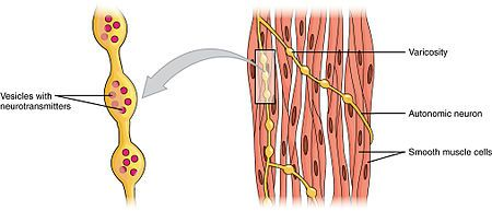 Smooth muscle tissue - AIH antibodies