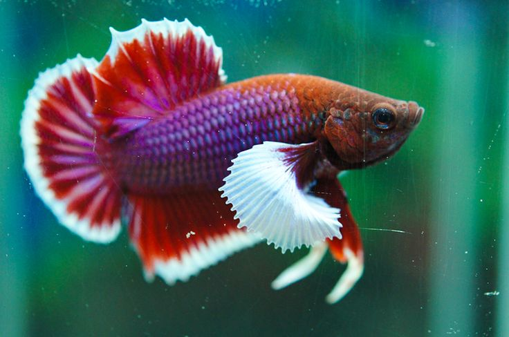 41 best images about betta plakat on pinterest for Big betta fish