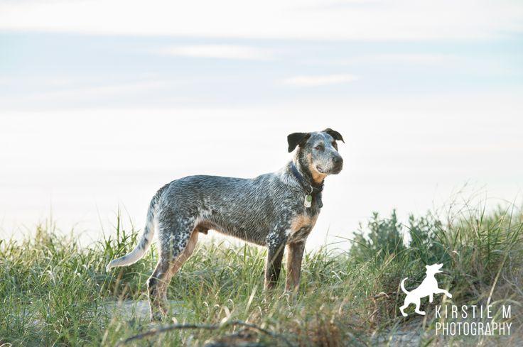 Levi Available for Adoption through AWDRI Adelaide Pet Photographer: Kirstie M Photography