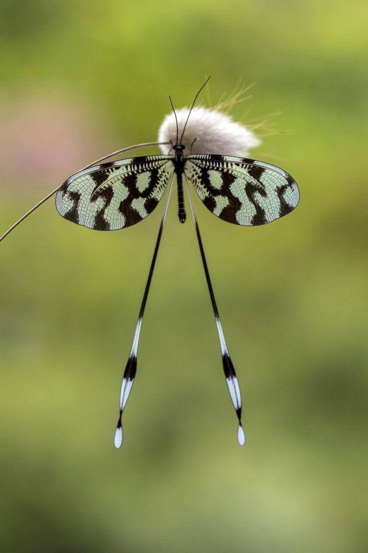 Nemoptera Sinuata | Yılmaz Akar
