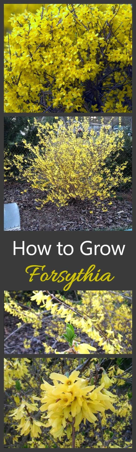 Best 25 yellow flowering bush ideas on pinterest yellow shrubs growing forsythia bushes is one of the best ways to get a really early show of dhlflorist Gallery