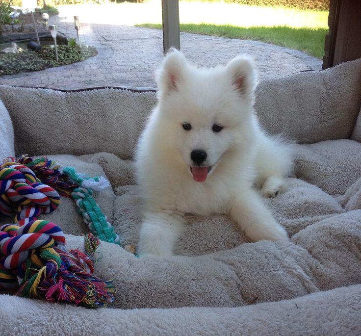samojeed puppy 10 weken oud