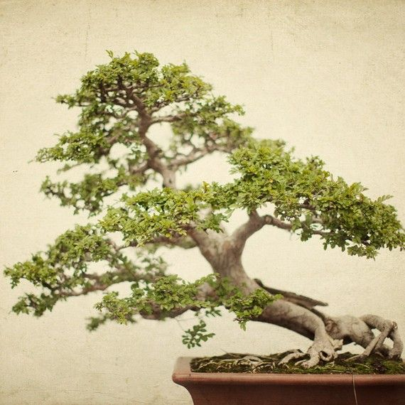 Items similar to Bonsai Photograph, Spring, Garden, Tree, Nature Photography, Fresh, Green, Asian, Simple - Your Moment of Zen on Etsy