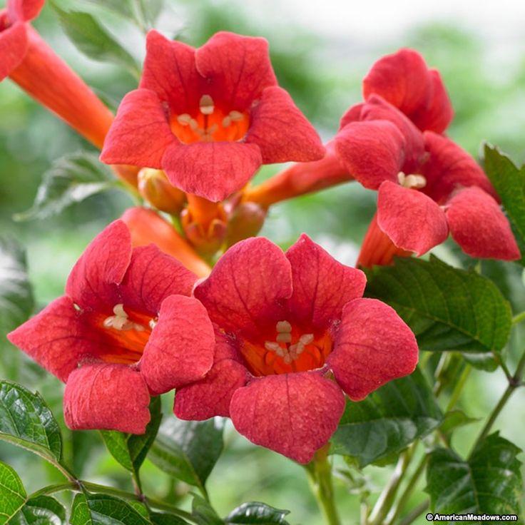 Trumpet Vine Flamenco, Campsis radicans, Trumpet Vine - Perennials ...