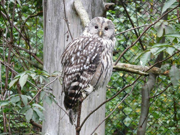 Ural Owl Species