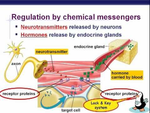 intro to endocrine system including types of hormones and focus on steroid hormone function.