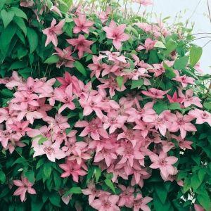 Clematis 'HAGLEY HYBRID' è una varietà di rampicante delle clematidi a fiori grandi, adatta alle zone del nord. La fioritura avviene da giugno ad ottobre.