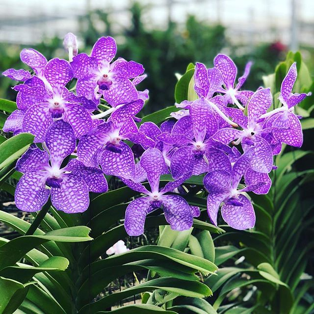 Vanchostylis Rhynchovanda Azure Tohgarden Singapore Tropical Farm Orchid Love Orchids Orchidflowers Orchidgarden Blue Orchidlove Instagram Orquidea
