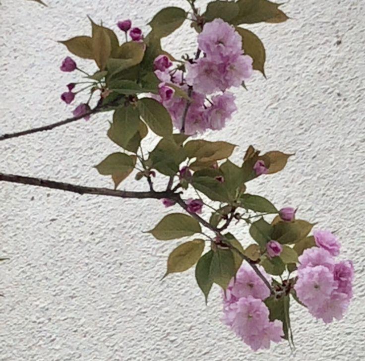 ソメイヨシノはほぼ終わりましたが、八重桜はこれからですね。