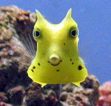 Long-horned Cowfish. Used to have one in my salt water aquarium. They're great.