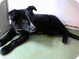 San Bernardino, CA - Border Collie Mix. Meet URGENT on 11/10 @DEVORE, a puppy for adoption. http://www.adoptapet.com/pet/16993214-san-bernardino-california-border-collie-mix