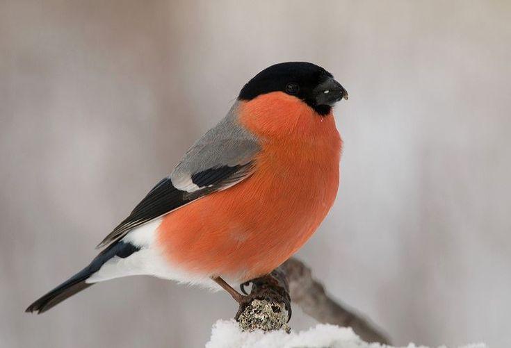 Pictures of Common birds in the winter in Sweden. //En av de mest folkkära fågelbordsbesökarna med sitt djupröda bröst. Honorna med grått bröst. Foto: Gunilla Falk