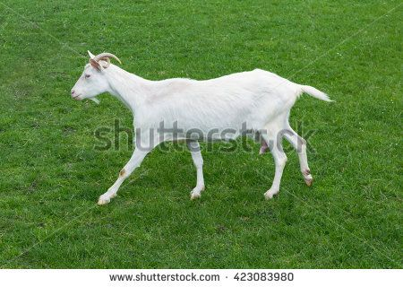 Goat white baby jumping side view green grass meadow goatling