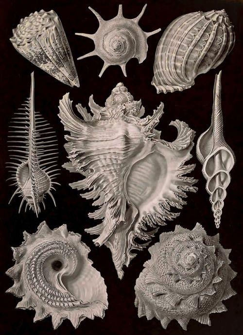 Ernst Haeckel - Kunstformen der Natur - 1899 - viaInternet Archive(also viaWikimedia)
