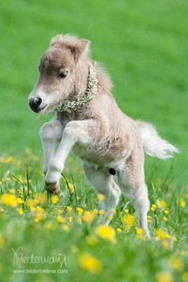 Fohlen - Pferdefotografie, Hundefotografie, Fotografie Bettina Niedermayr Pferde - Mensch & Pferd - Hunde- Portrait - Stallschilder - Kalender, Pferdekalender, Haflingerkalender mit Kohlfuchs Liz. Steiermark