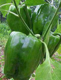 Want large beautiful Veggies this year? Try this! It works!  Please share! 1 tsp Epsom salt in 4 c warm water…spray on plant and then again 10 days later. Produces more fruit due to boost of magnesium… especially for tomatoes, peppers and roses. To SAVE this idea, be sure to click SHARE so it will store on your personal page. Remember to do this in your gardens.  ☆ Thank you all for passing my things around and sharing ☆  ღ FRIEND or FOLLOW ME! I am always posting awesome stuff on my…