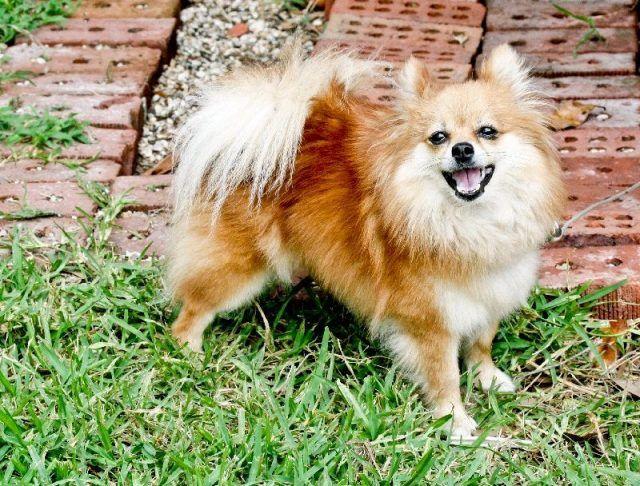 22. Pomeranian Pomerania adalah jenis anjing kecil yang berasal dari Jerman, anjing ini lucu dan penuh semangat, cerdas dan juga waspada serta memiliki rasa ingin tahu yang tinggi dunia sekitarnya. Hanya saja, anjing kecil yang lucu ini independen, yang mana berani memiliki pikiran sendiri.  Nama Pomerania sebenarnya adalah nama sebuah Pulau Tua yang ada di Jerman. Anjing Pomerania ini pada umumnya memiliki umur hingga 16 tahunan.  Ketika sudah dewasa, Pomerania memiliki tinggi sekitar 20…