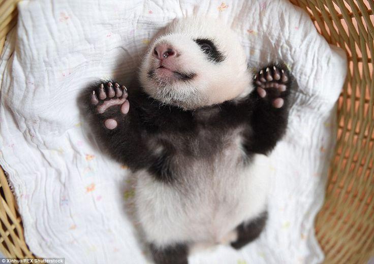Qué lindo panda