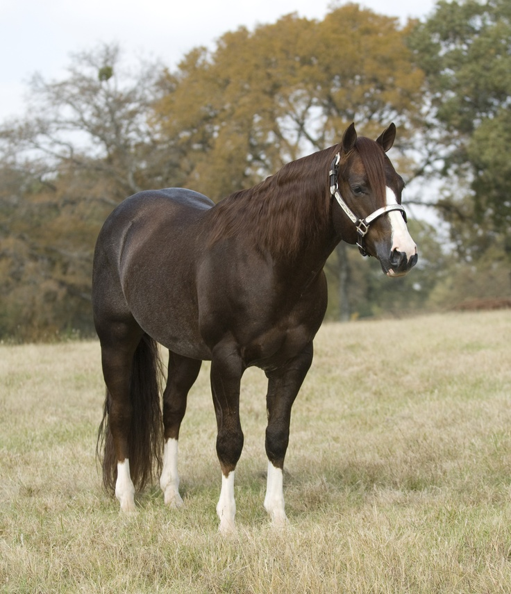 Quarter Horse stallion Catty Starlight <3