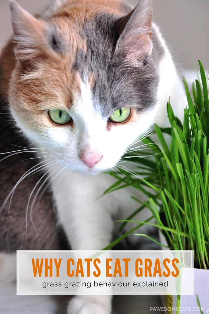 Why do Cats Eat Grass? Pawesome Cats Why do cats purr