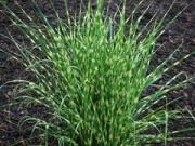Ornamental grass for the flower bed pots. Miscanthus Little Zebra