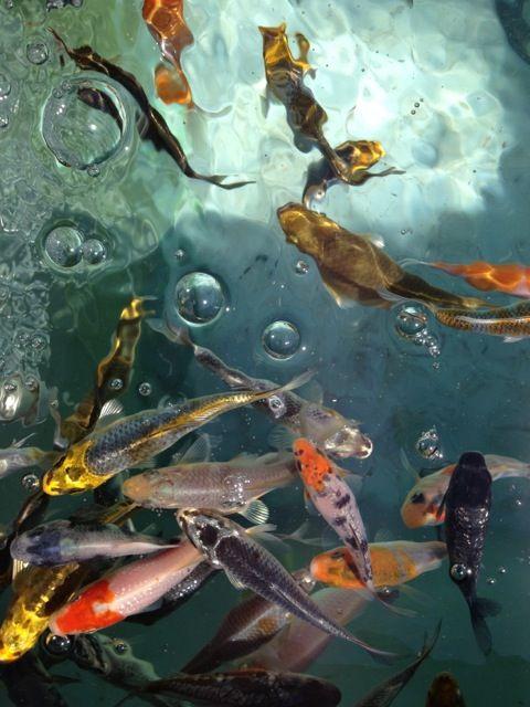 17 best images about aquaponics fish on pinterest honey for Koi aquaponics