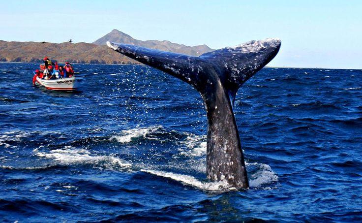 Viajera y solidaria: 13 cosas sorprendentes sobre la ballena gris