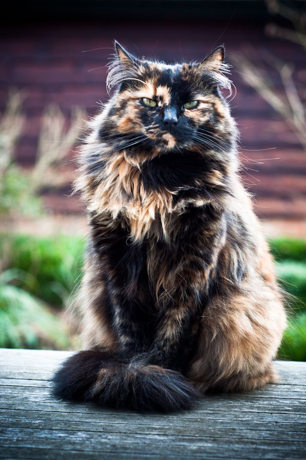 Our first cat as a family with my husband and daughter was a tortoiseshell called Pepper albeit short haired but this one is truly gorgeous