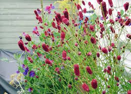 1000 images about beplanting on pinterest for Sanguisorba officinalis red thunder