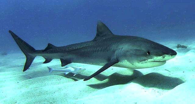 Juvenile tiger shark and a pup in the Bahamas. Top 10 Fun Facts About Tiger Sharks! - Cool and Interesting Facts for Kids