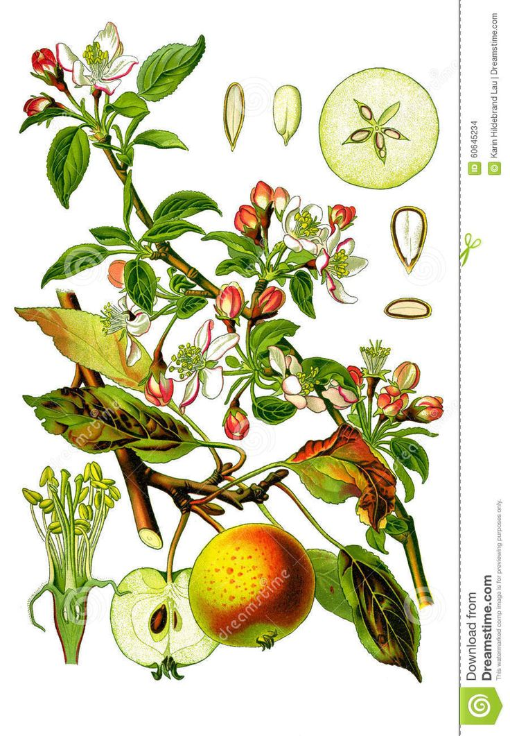 apple flowers botanical illustration - Google Search