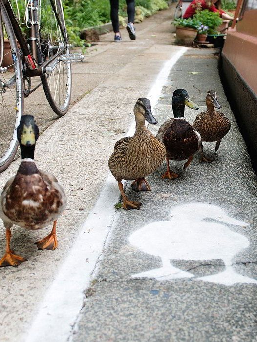 Temporary duck lanes have been painted on busy towpaths in London, Birmingham, and Manchester to highlight the narrowness of the space that is shared by a range of people and wildlife.