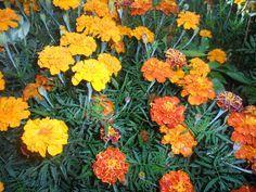 То светят золотом, то вспыхнут как угли Бархотки расцвели в моём саду И лепестков растрепанные кудри Кивают, весело качаясь на ветру. Павел Долгов.