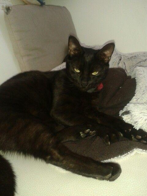 Cat panthère noir