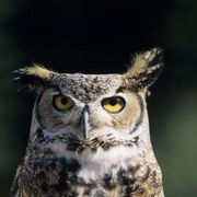 What Kind of Sound Does an Owl Make at Night? | eHow