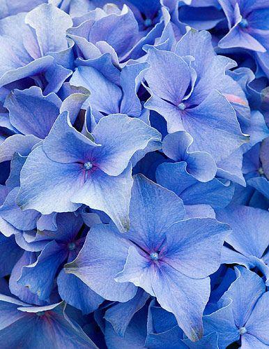 Hydrangea macrophylla 'blue baron'