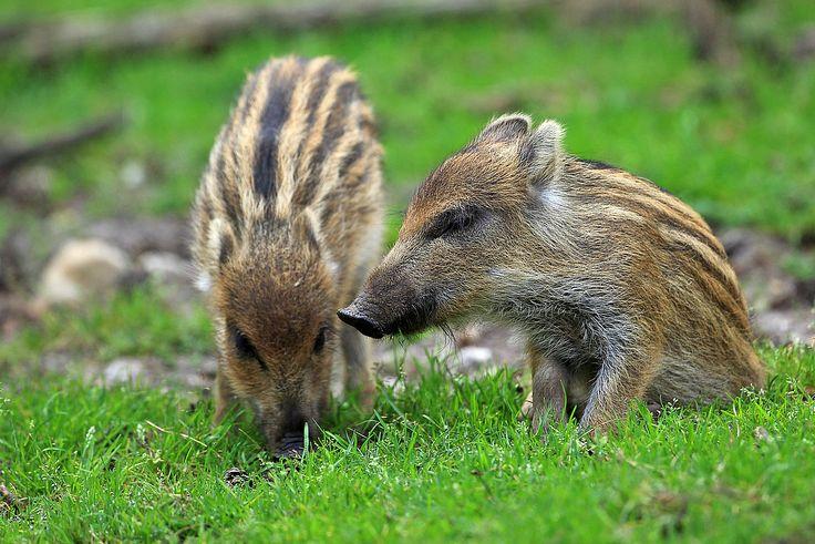 Wild Zwijntje Jonge wilde zwijntjes worden ook wel frislingen genoemd. Ze hebben horizontale strepen die als goede camouflage dienen. Deze strepen verdwijnen weer na drie tot vijf maanden. Fotograaf: kasteelheertje