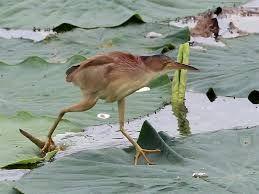 yoshi3定期的にヨシゴイを見たくなる。完全なるミョウガだし、鳥とは思えぬいでたち