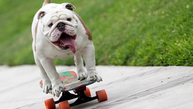 Бульдог установил впечатляющий мировой рекорд на скейтборде