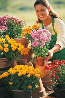 Potted mums are autumn classics, with late-season color that boosts curb appeal or brightens a Thanksgiving table. Chrysanthemums (Dendranthema x grandiflora or Chrysanthemum x grandiflorum) may be ...
